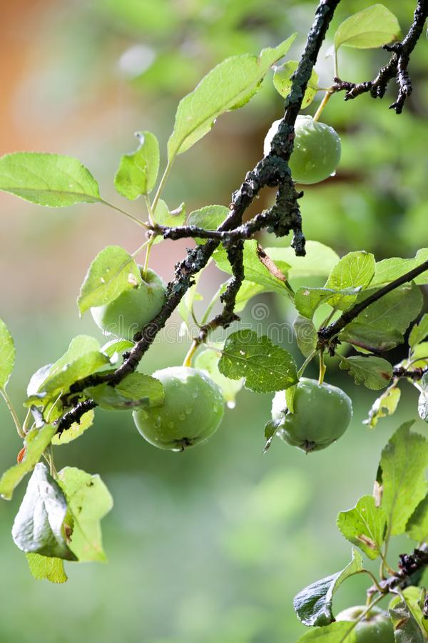 Green apples hanging on tree branch stock images