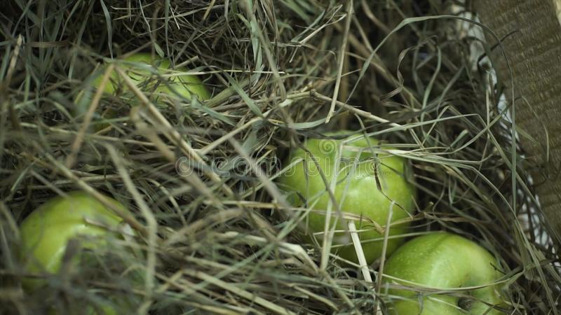 Green apples in the hay. Basket with apples lying in the hay. Juicy ripe apples and pears lay chest harvest. The chest stock image