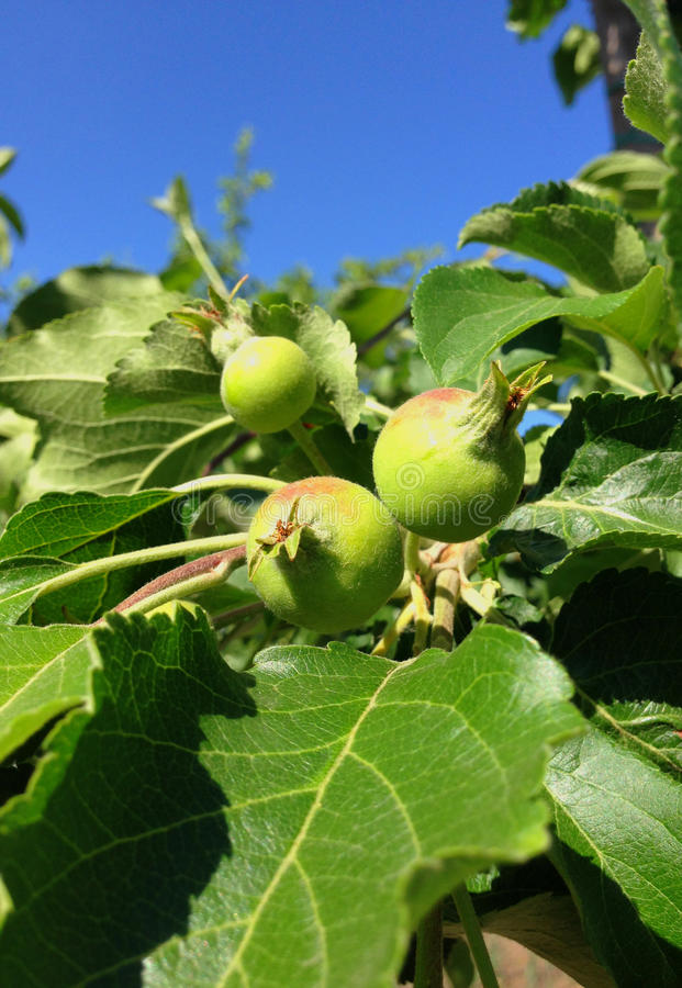 Green apples during maturing royalty free stock photo
