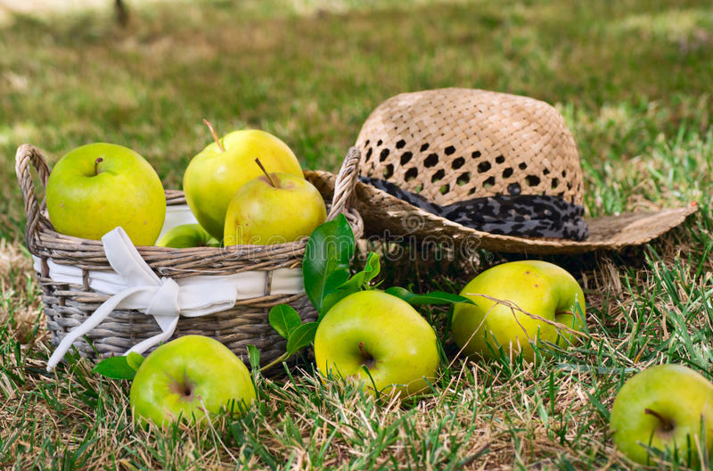 Green apples with an overturned basket lay on the. Inverted basket of green apples lying on the lawn royalty free stock photos