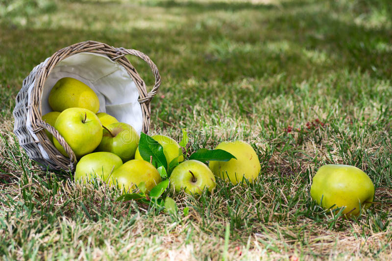 Green apples with an overturned basket lay on the. Inverted basket of green apples lying on the lawn royalty free stock images