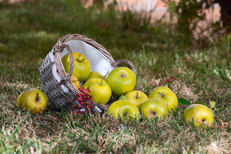 Green apples with an overturned basket lay on the. Inverted basket of green apples and a sprig of red berries, lying on the lawn royalty free stock photo