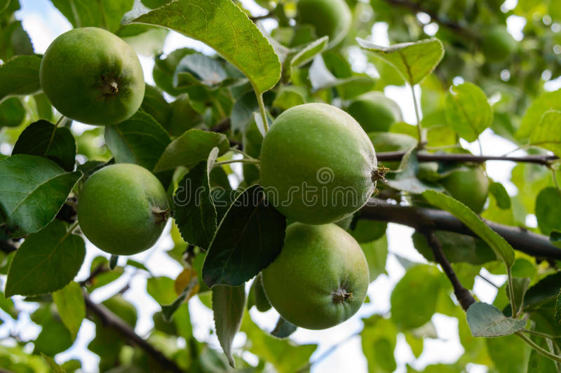 Green apples on a tree branch stock image