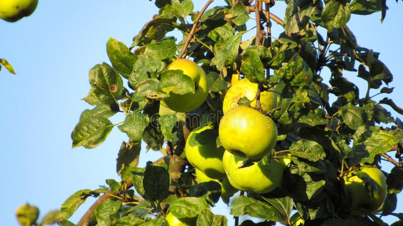 Green apples on tree branch on blue sky background stock image