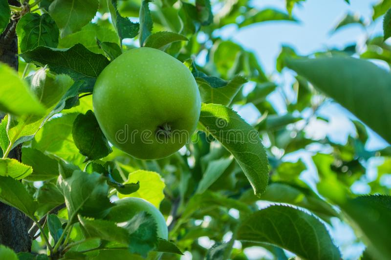 Green apples on a tree. Green apples on a branch ready to be harvested, outdoors, selective focus. stock photography
