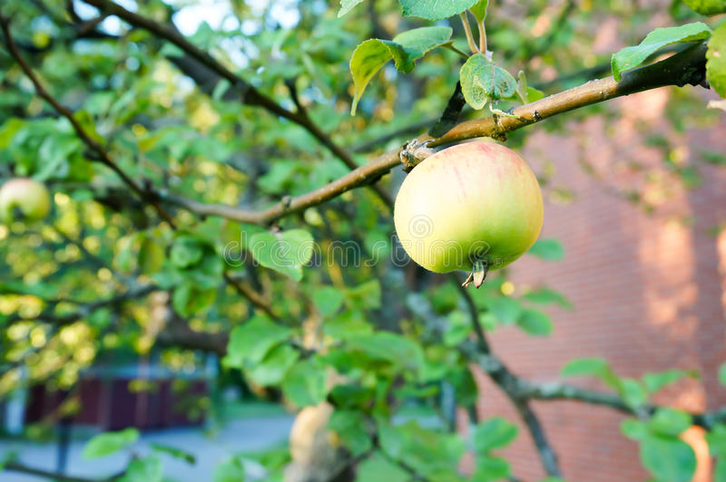 Green apples on tree royalty free stock photo