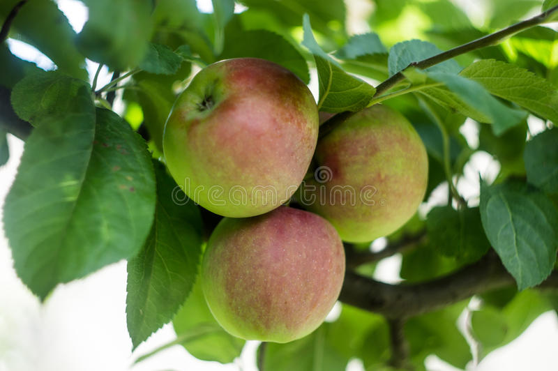 Green apples on a tree twig on a sunny day.  stock images