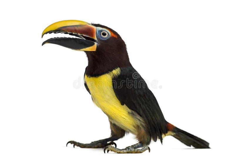 Green aracari opening his beak isolated on white royalty free stock image