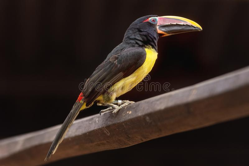 Green Aracari, pteroglosssus viridis, little exotic Toucan perched on a tree branch. Green Aracari, pteroglosssus viridis, little exotic Toucan perched on a royalty free stock photo