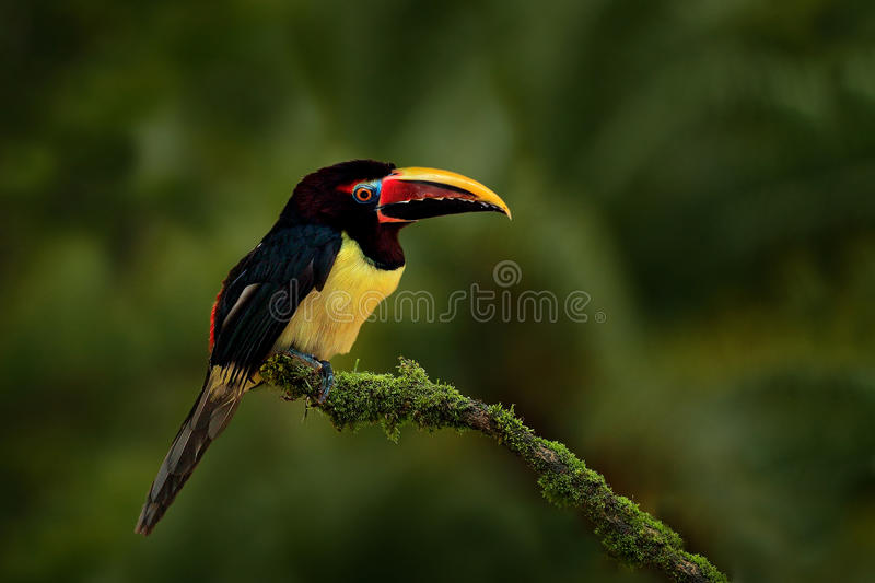 Green Aracari, Pteroglossus viridis, yellow and black small toucan bird in the nature habitat. Exotic animal in tropical stock photo