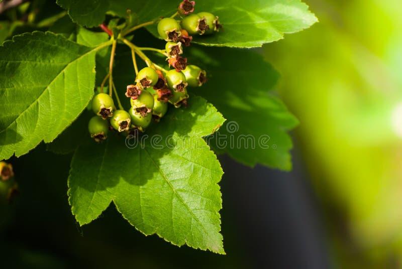 Download Green arrowwood stock photo. Image of medicine, gardening - 31503146