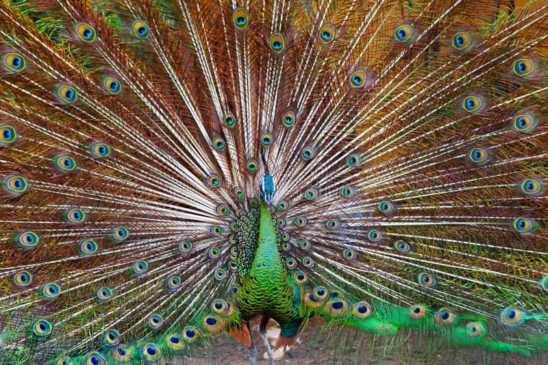 Green Asiatic peafowl with fanned colorful tail. Portrait of wild male peacock with fanned colorful train. Green Asiatic peafowl display tail with blue and gold royalty free stock photo