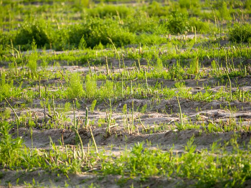 Green asparagus in the field royalty free stock photo