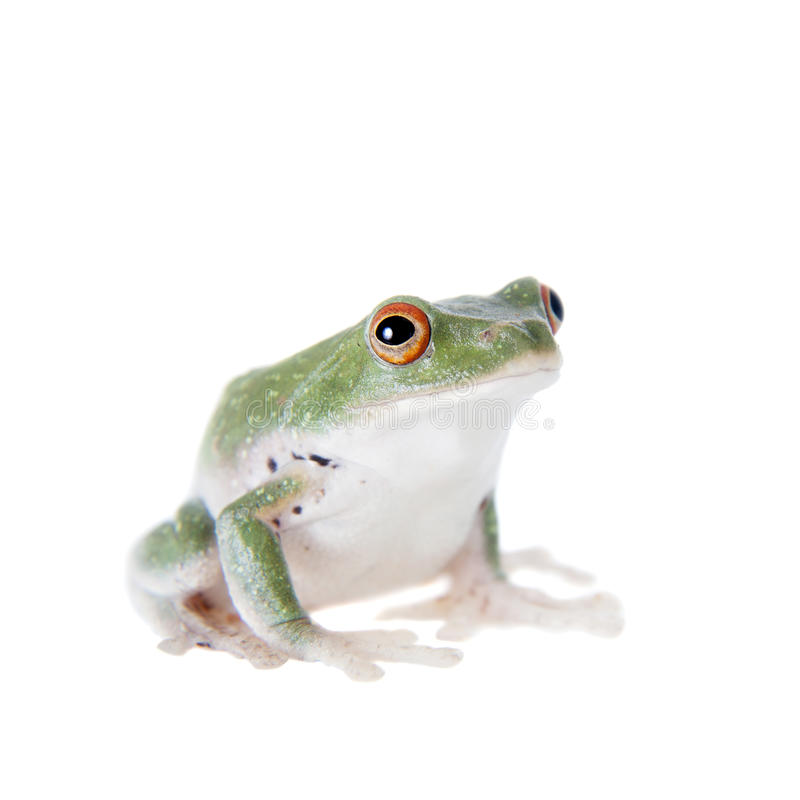 Green back flying tree frog on white. Green back flying tree frog, Rhacophorus dorsoviridis, on white background stock photo