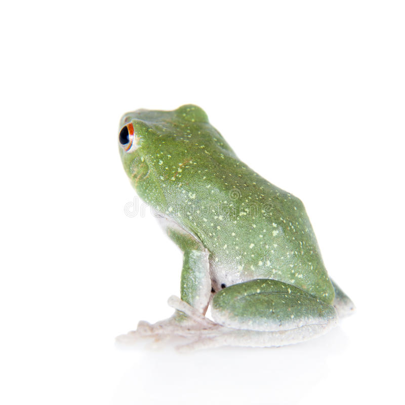 Green back flying tree frog on white. Green back flying tree frog, Rhacophorus dorsoviridis, on white background royalty free stock photography