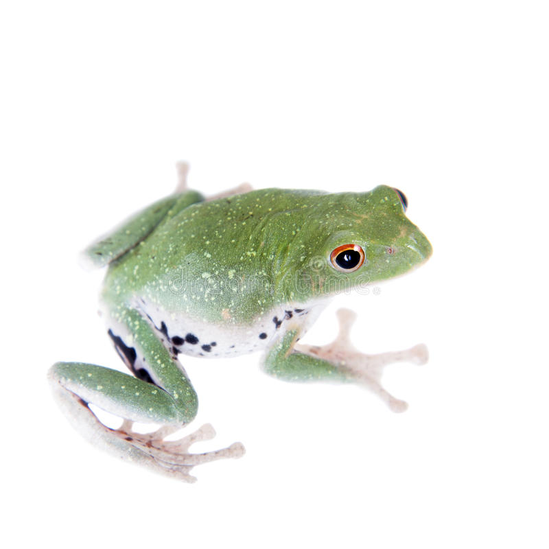 Green back flying tree frog on white. Green back flying tree frog, Rhacophorus dorsoviridis, on white background stock images
