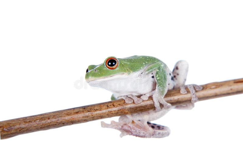 Green back flying tree frog on white. Green back flying tree frog, Rhacophorus dorsoviridis, on white background stock image