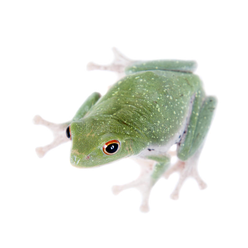 Green back flying tree frog on white. Green back flying tree frog, Rhacophorus dorsoviridis, on white background stock photography