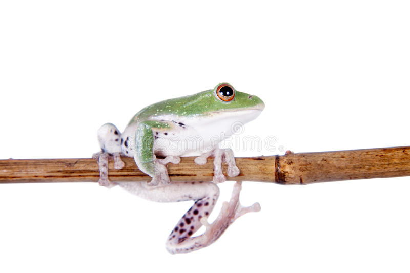 Green back flying tree frog on white. Green back flying tree frog, Rhacophorus dorsoviridis, on white background stock photos