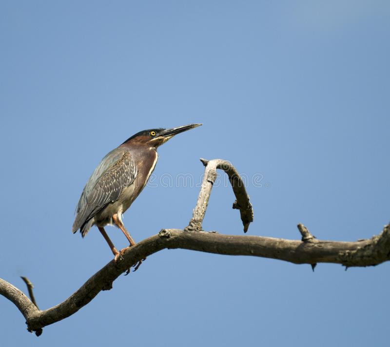 Download Green Back Heron stock image. Image of bill, backed, green - 29632655