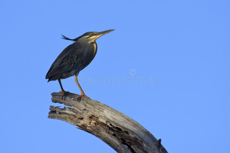 Download Green-backed Heron - Butorides Striata Stock Image - Image: 31729691