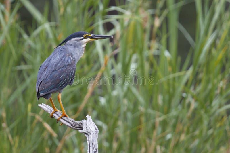 Green-backed Heron - Butorides striata royalty free stock image