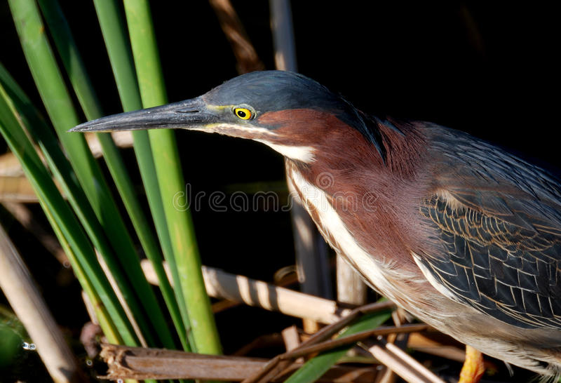 Green Backed Heron. This Heron was hunting for minnows at Anhinga Trail in the Everglades National Park royalty free stock image