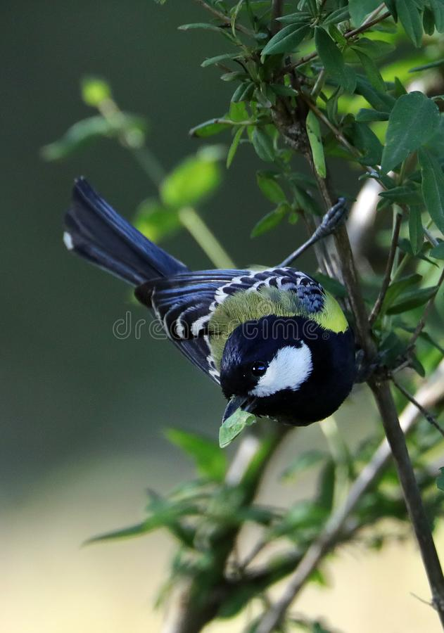Green-backed tit stock image