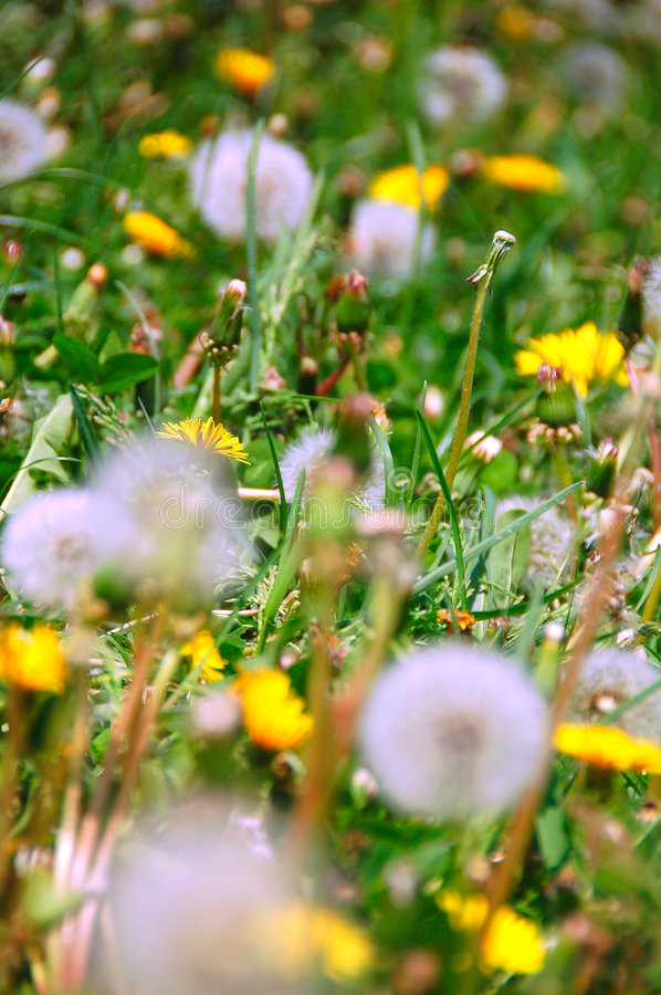 Green background. With dandilions and whatnot stock photography