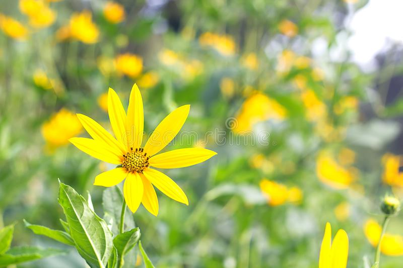 Green background with beautiful yellow flowers royalty free stock photos