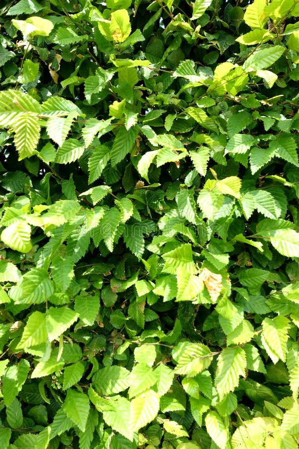 Green background of a beech hedge stock photo