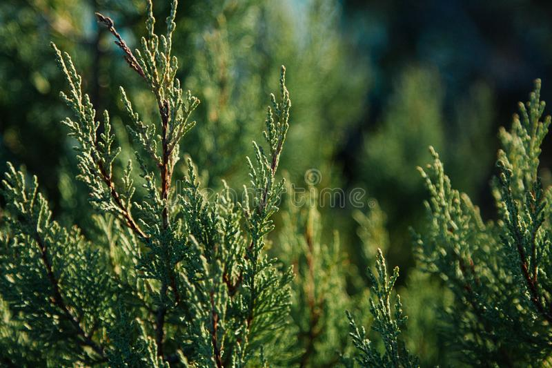 Green background. Cypress Branches n the hedge in garden royalty free stock images