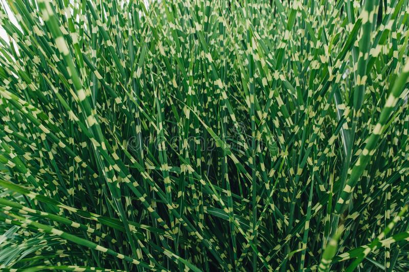 Background of decorative grass. Green background of decorative grass royalty free stock image