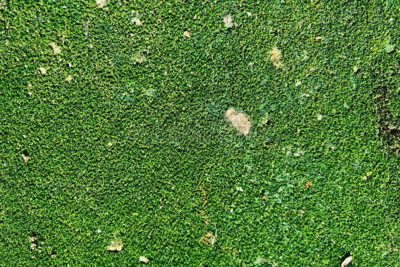 The green background that is formed from the moss royalty free stock photography