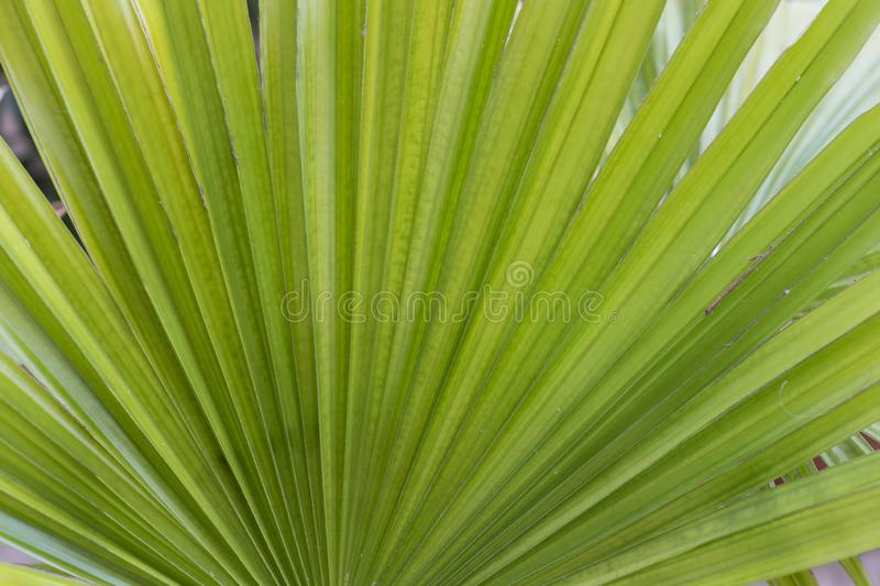 Green background. Fresh juicy green leaves of the plant. Long striped palm leaves. royalty free stock image