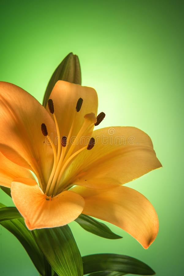 Green background with golden yellow lily flower stock images