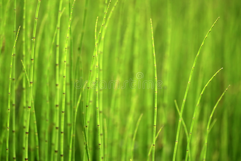 Download Green Background Of Horsetails Stock Photo - Image: 5639038