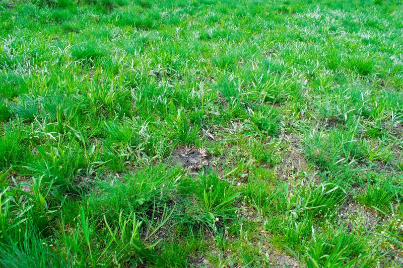 Green background, lots of grass with small leaves, like a lawn. Turquoise and yellow wheatgrass. royalty free stock photography