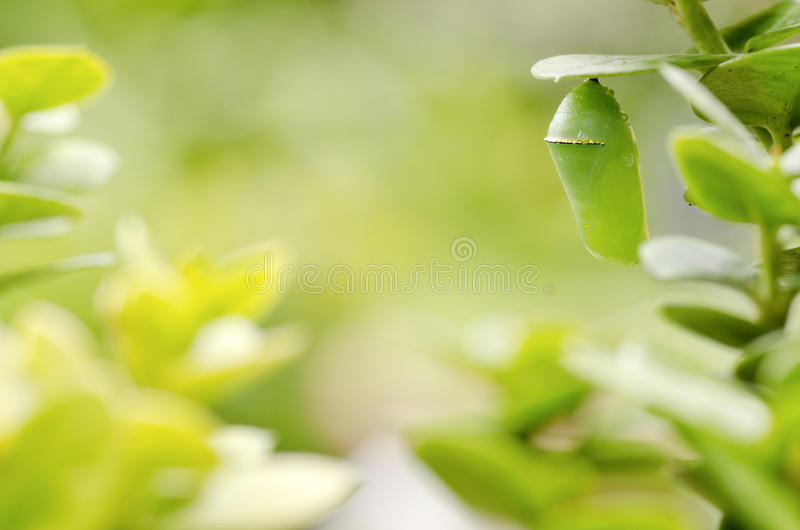 Green background with pupa royalty free stock photo
