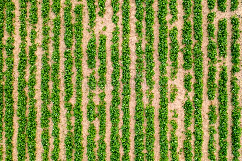 Green background - strawberry field - rows or lines stock image