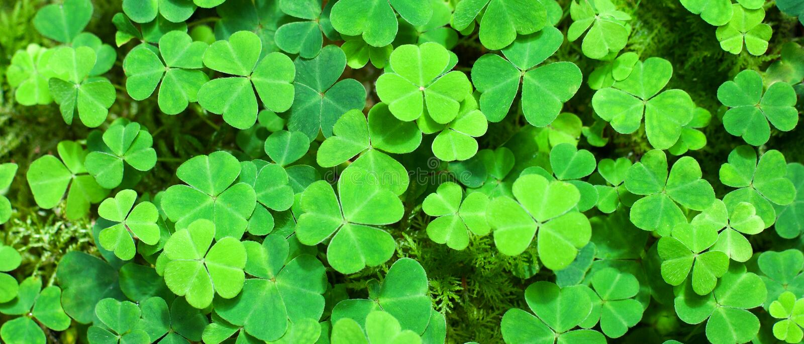 Green background with three-leaved shamrocks. royalty free stock images