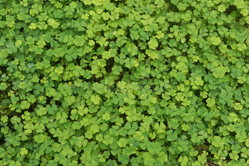 Green background wood sorrel. Green background of natural fresh wet wood sorrel royalty free stock photo