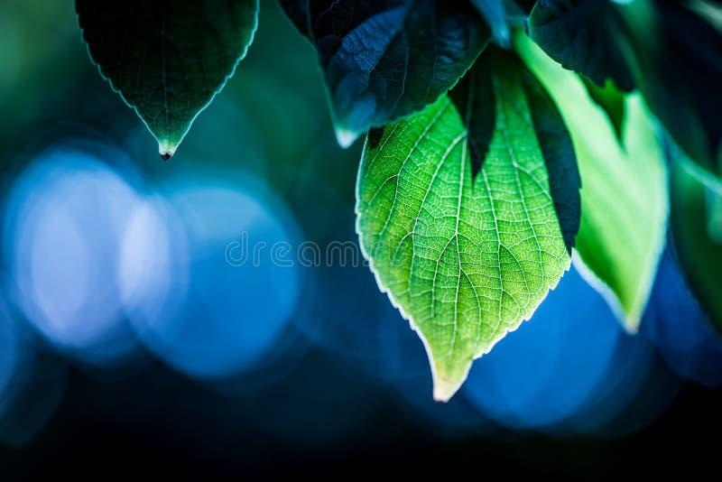 Green backlit leaves against a blue bokeh background stock images