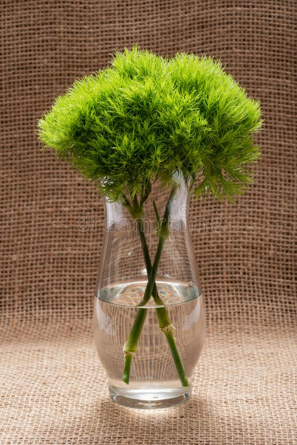 Green Ball - Dianthus Barbatus - Sweet William. Unique Ball-shaped, lime green flowers in clear glass vase isolated on natural. Burlap background royalty free stock photography