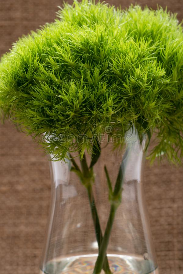 Green Ball - Dianthus Barbatus - Sweet William. Unique Ball-shaped, lime green flowers in clear glass vase isolated on natural. Burlap background stock image