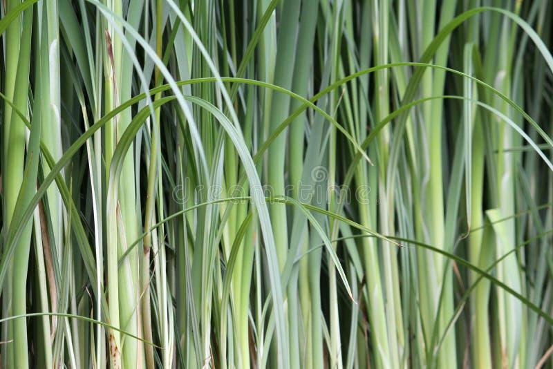 Green Bamboo Stock Photo