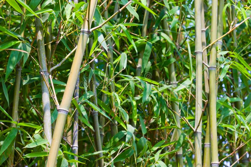 The green bamboo stock photos
