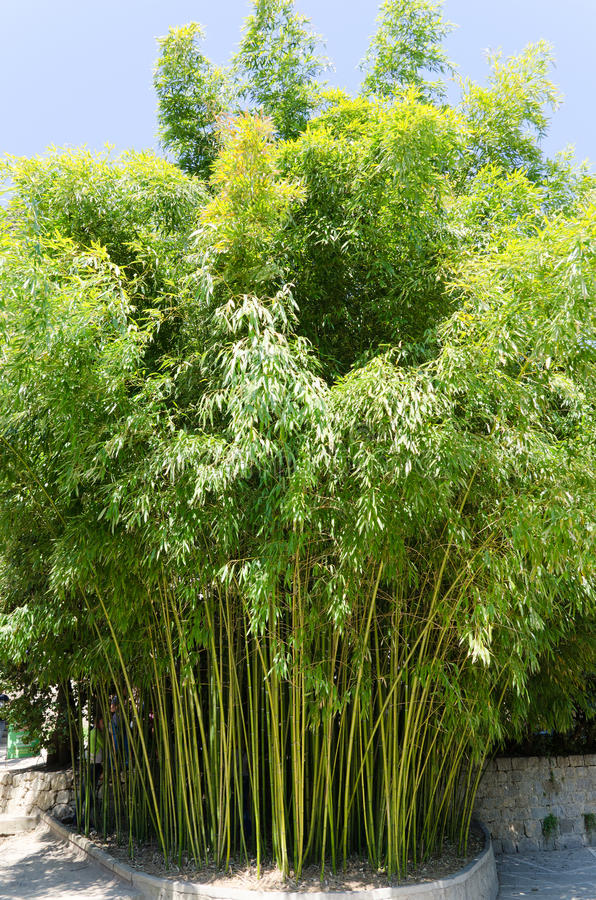 Green bamboo. Picture of green bamboo bush stock images