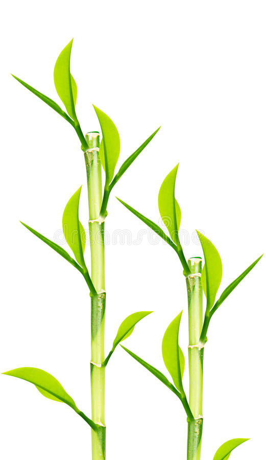 Download Green Bamboo stock photo. Image of fresh, jungle, east - 25951242