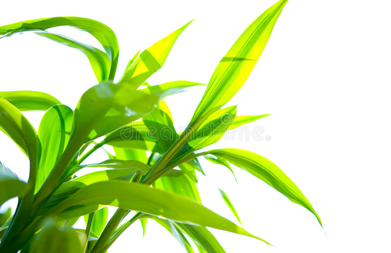 Download Green Bamboo Against White Royalty Free Stock Photo - Image: 5701145